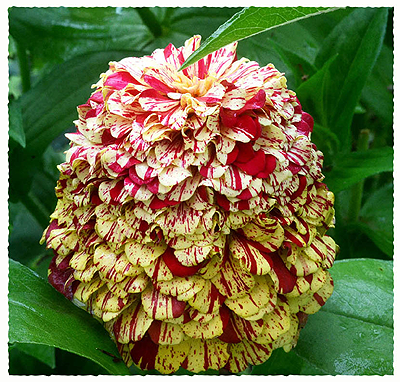 zinnia-deckled-edge